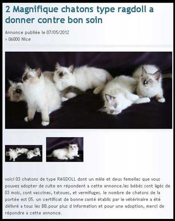 Arnaques Page 2 Le Ragdoll Club France